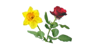 Dafodil and Rose